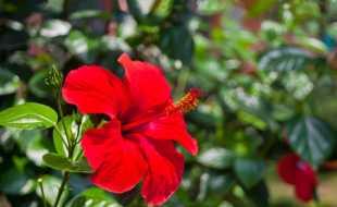 Uygun Japon Gülü Çiçeği Fiyatları ruzgarbotanik.com'da Sizlerle!
